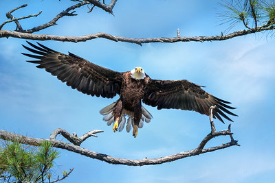(EA18) Bald Eagle