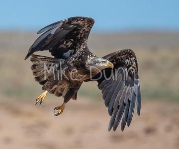 Bald Eagle-91