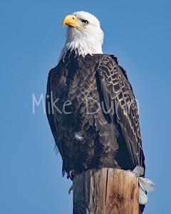 Bald Eagle-74
