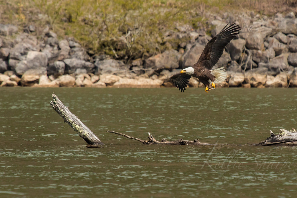Bald Eagle With Catch