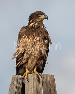 Bald-Eagle-74
