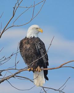 Eagle  # 7766