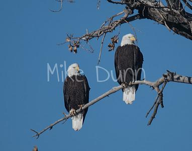 Bald Eagle-3