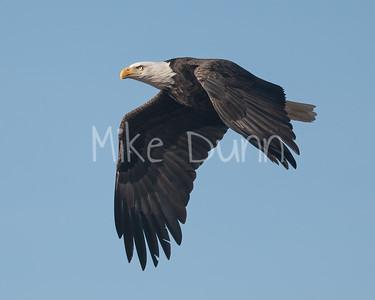 Bald Eagle-88