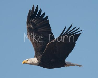 Bald Eagle-89