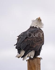 Bald Eagle Looking Up