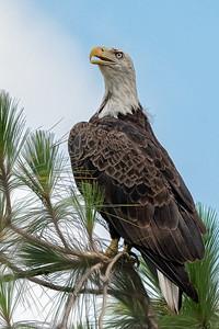 Bald Eagle in Deltona, Florida