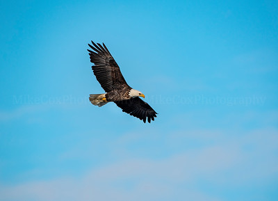 Bald Eagle Blue Sky