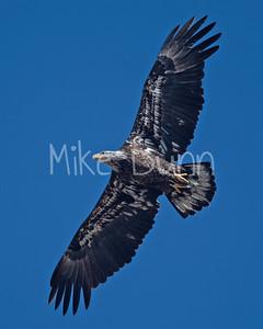 Bald Eagle-83