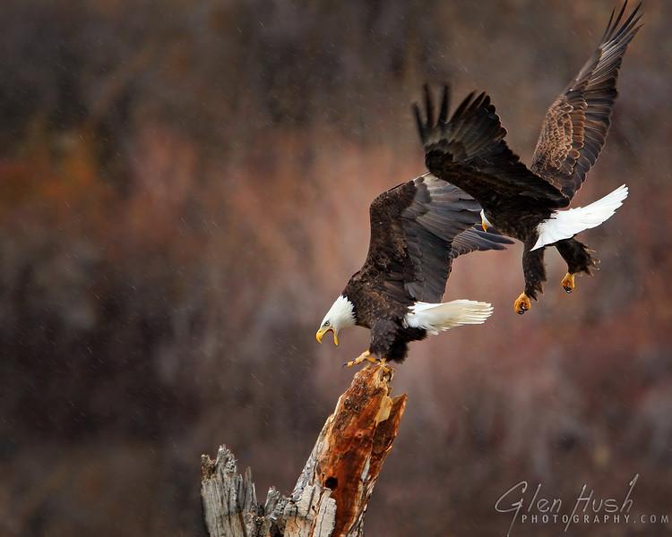 Eagle100_16x20