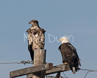 Bald Eagle-58