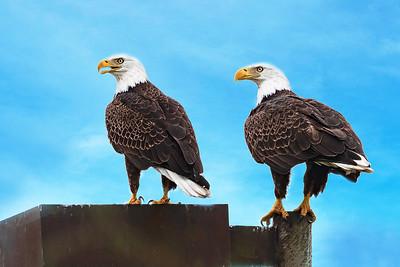 (EA15) Bald Eagle Couple
