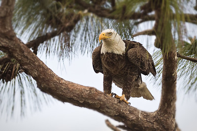 Bald Eagle at nest site in Central Florida