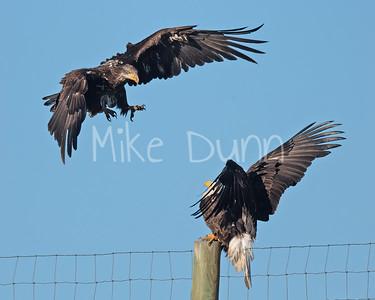 Bald Eagle-95