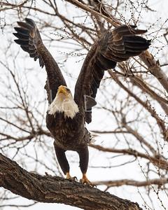 Bald Eagle-90