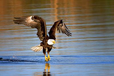 Eagle at Cameron Wight Park, Sanford, FL