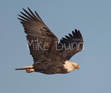 Bald Eagle-87