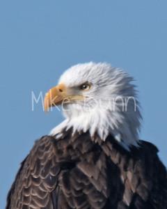 Bald Eagle-60