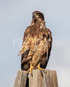 Bald-Eagle-73