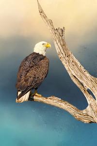 (EA12) Bald Eagle