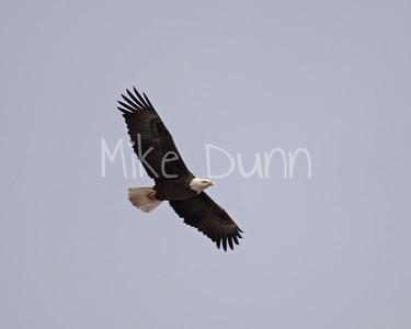 Bald Eagle-40