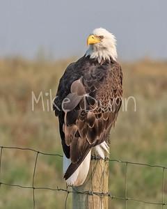Bald Eagle-96