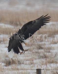 Bald Eagle-70