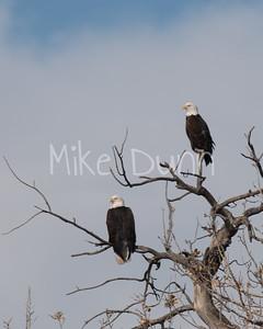 Bald-Eagle-50