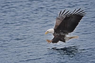 Bald Eagle 0251
