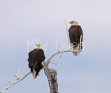 Bald-Eagle-55
