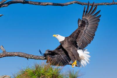 Bald Eagle flying to nest