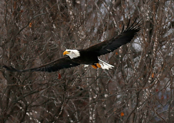 Bald eagle sighting in Bennington. 021517