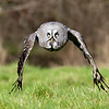 Great Grey Owl,
