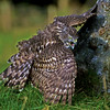 Young Goshawk covering prey.