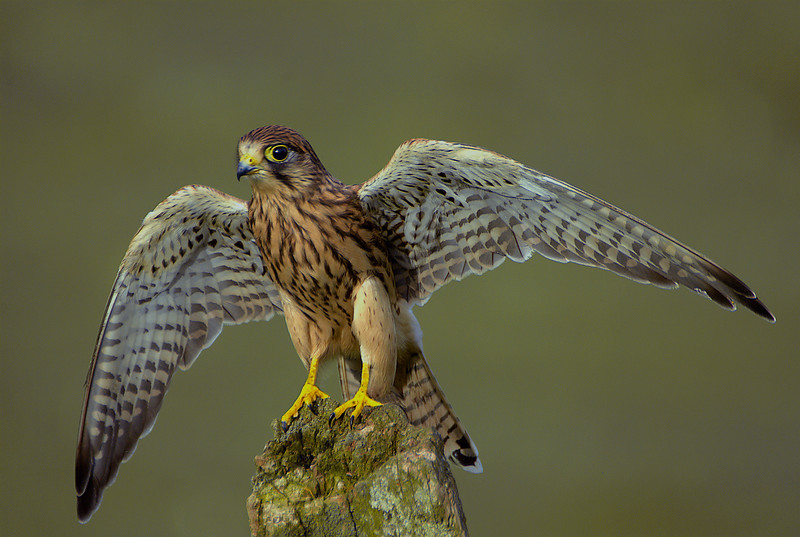 Very young Kestral.