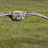 Eagle Owl in flight.