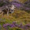 Eagl Owl in flight.