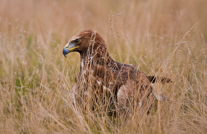 Golden Eagle in grass.