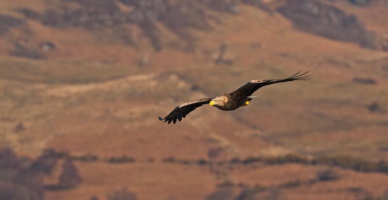 White Tailed Sea Eagle.
