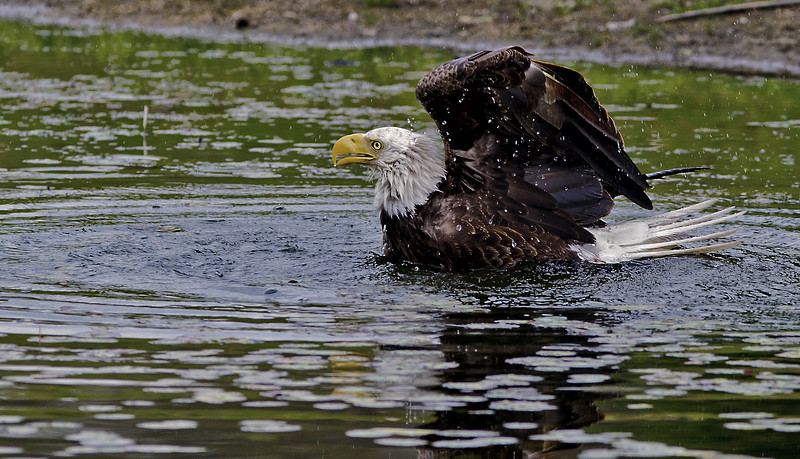Bald Eaglr bathing.
