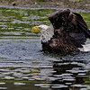 Bald Eaglr bathing.