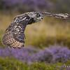 Eagle Owl in flight.