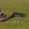 Red Kite covering kill.