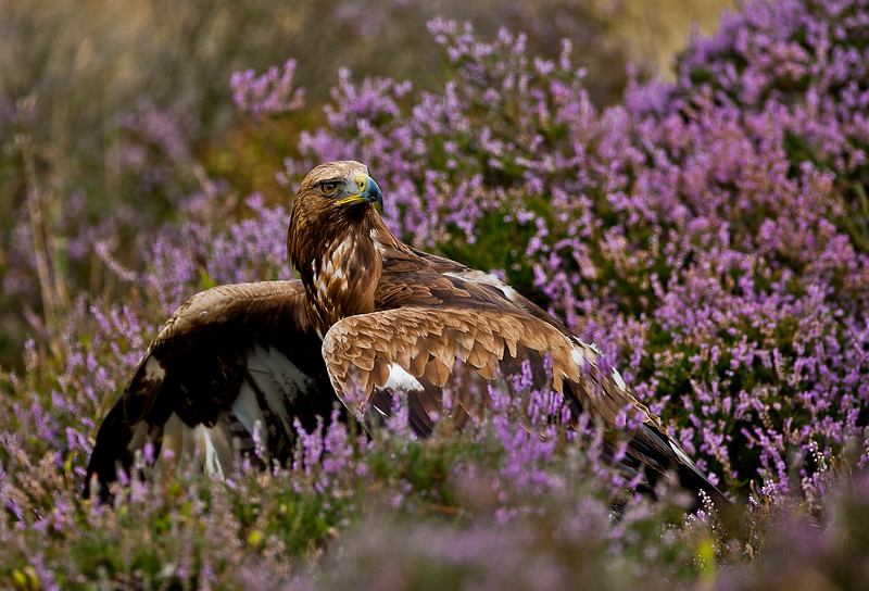 Young Golden Eagle covering prey.