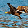 Whit Tailed Sea Eagle with catch.