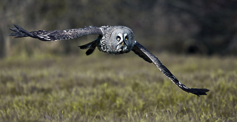 Great Grey Owl..