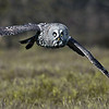 Great Grey Owl..