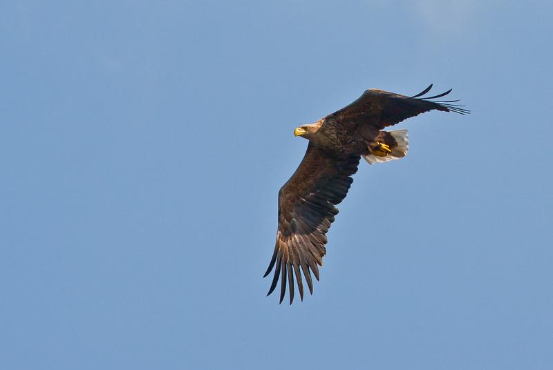 Whit Tailed Sea Eagle.