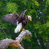 Bald Eagle after bath.