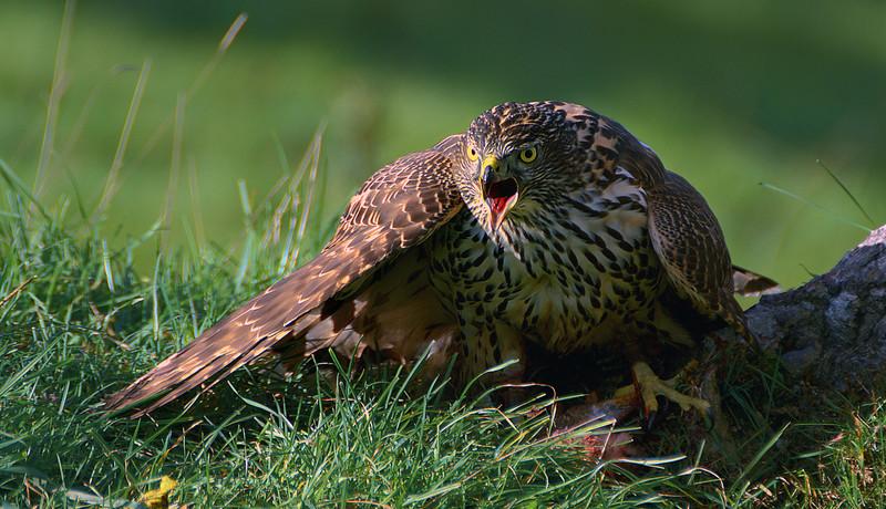 Young Goshawk covering prey.